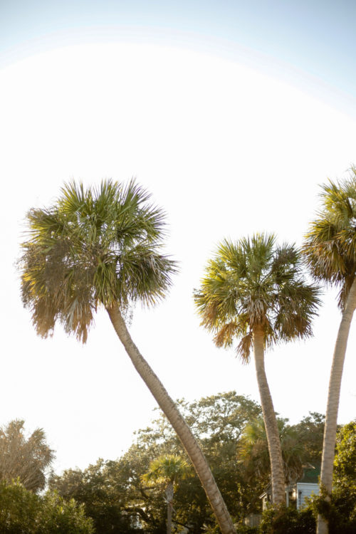 palm-trees-in-charleston
