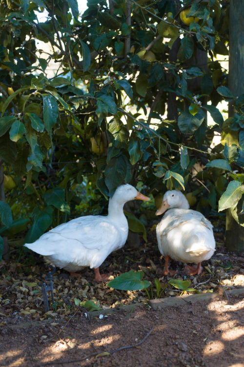 babylonstoren ducks