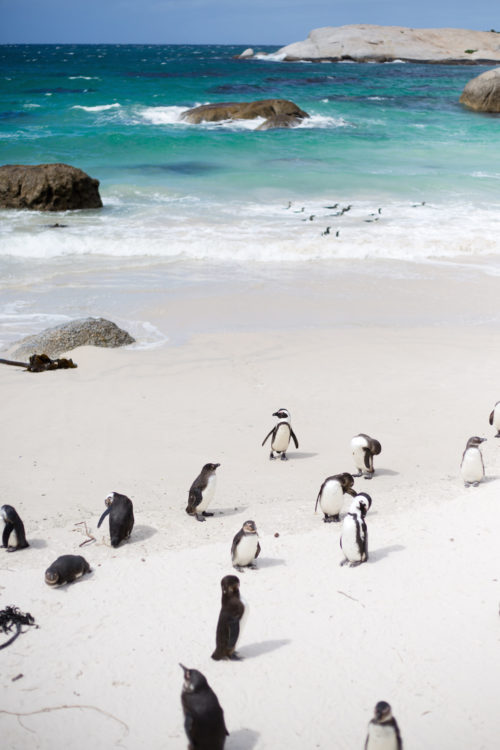 boulders beach penguins cape town