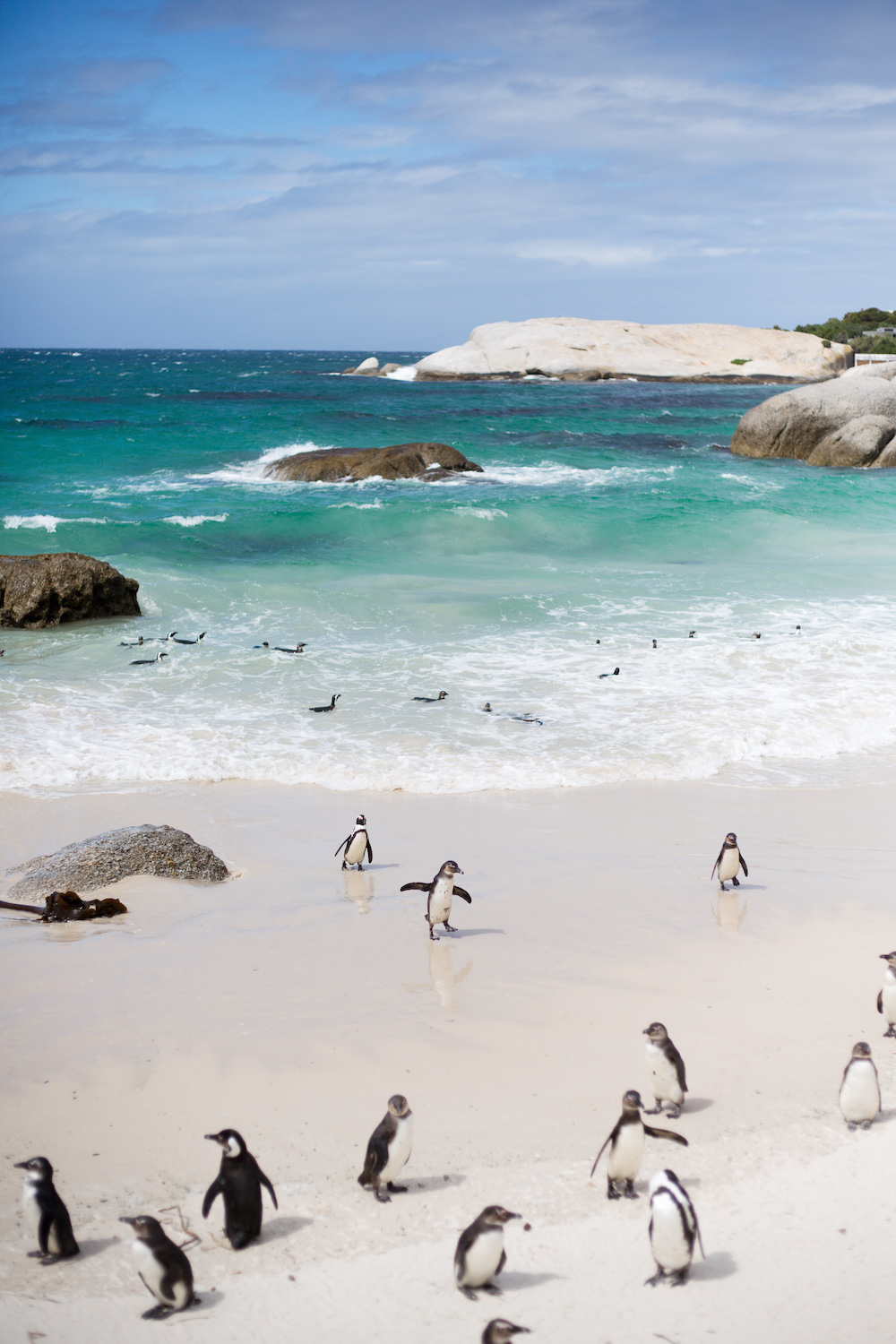 boulders beach penguins cape town design darling honeymoon