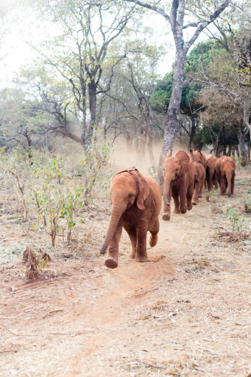 david sheldrick wildlife trust elephants