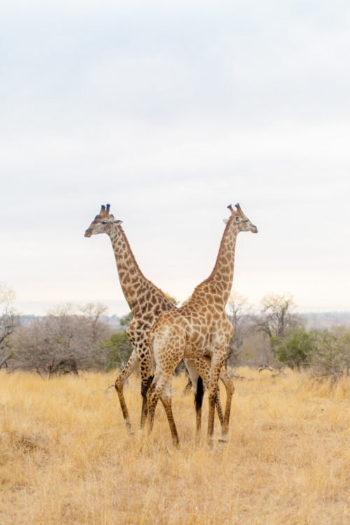 londolozi giraffes at sunrise