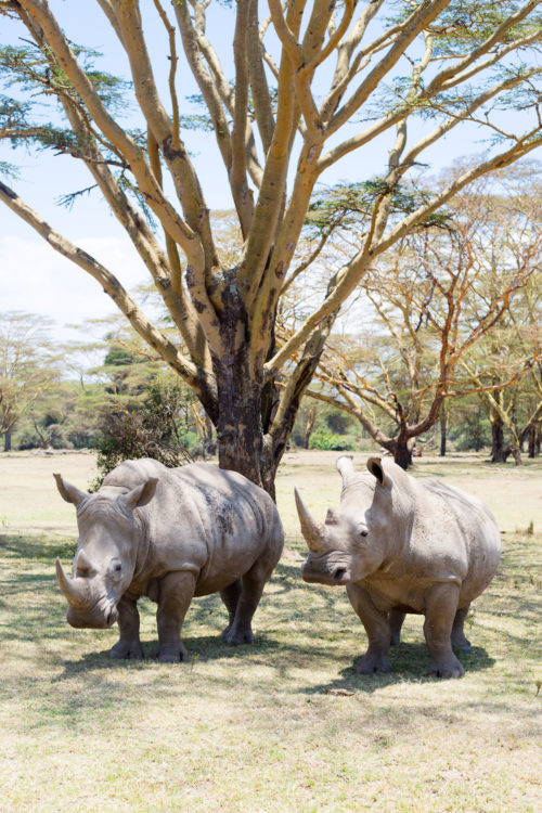 white rhinos at solio lodge
