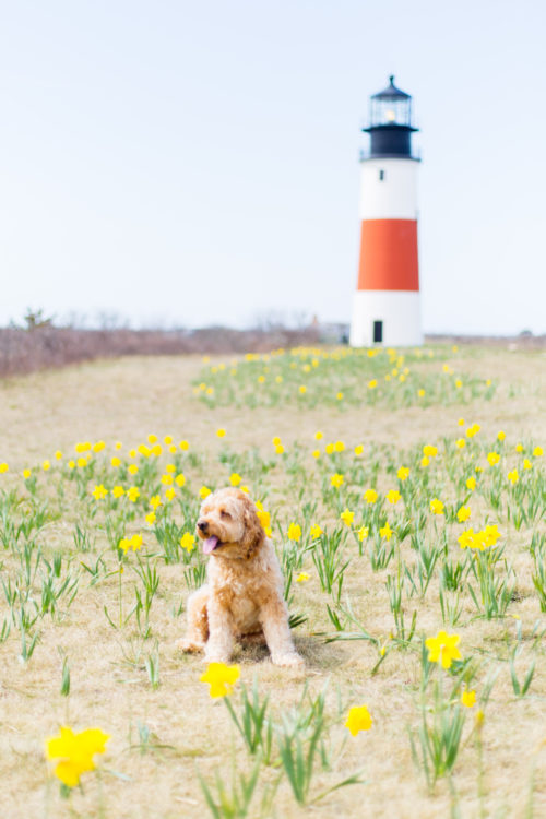 nantucket daffodil weekend at sankaty lighthouse