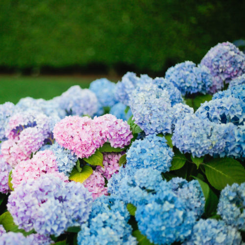 sconset nantucket hydrangeas