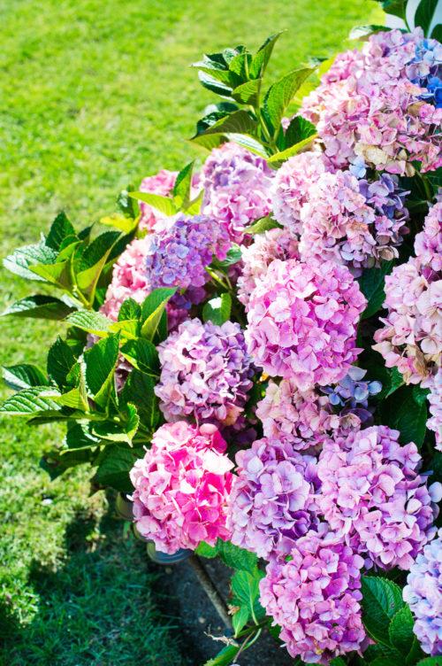 pink hydrangeas at sconset chapel nantucket