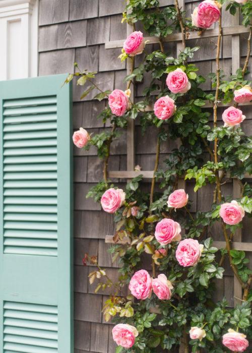 pink climbing roses nantucket