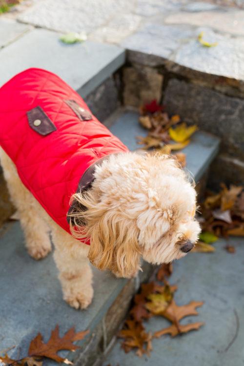 red dog jackets on design darling