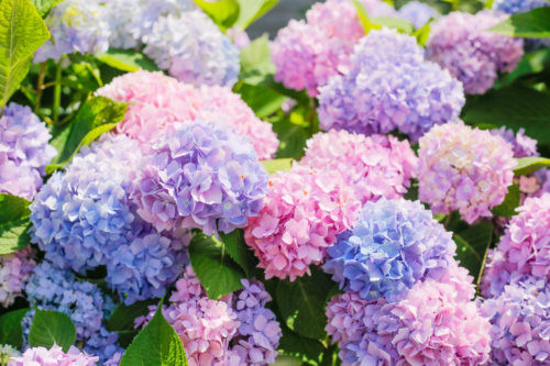 Nantucket Print Shop Pink and Purple Hydrangeas