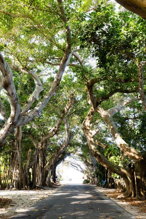 banyan street