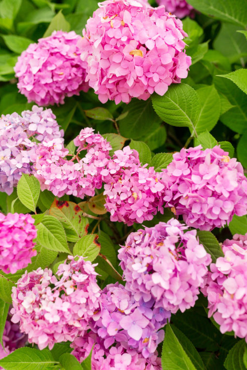 nantucket pink hydrangeas