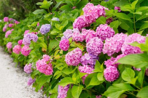 pink hydrangeas nantucket