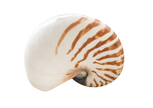 nautilus shell decor