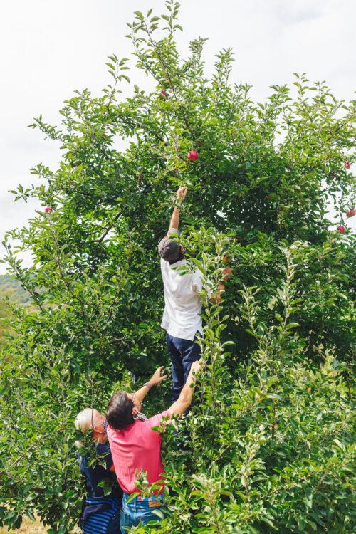 apple picking lyman orchards 7