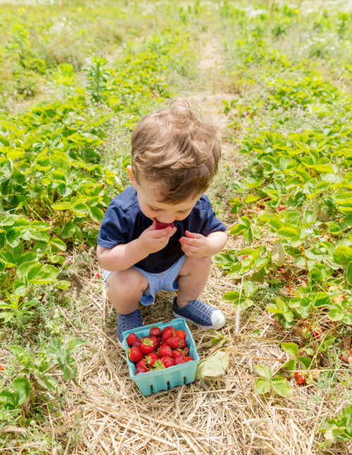 bartlett's farm strawberry picking nantucket